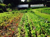 Beetroot growing at Chisholme House, August 2014